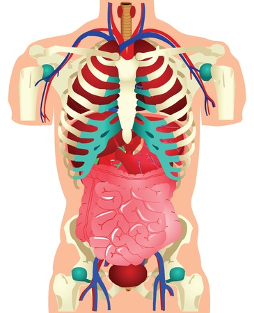 small intestine: Stock illustration of human organs.