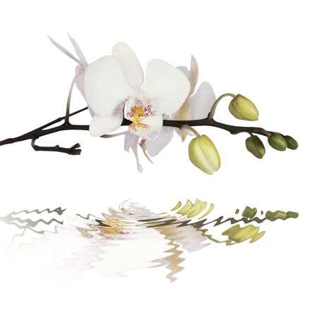 white orchid: White orchid on calm water