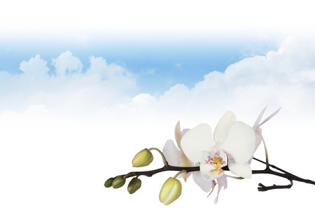 white orchid: White orchid on clouds background