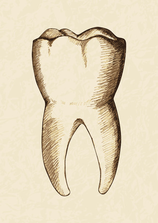 Sketch illustration of human tooth Vector