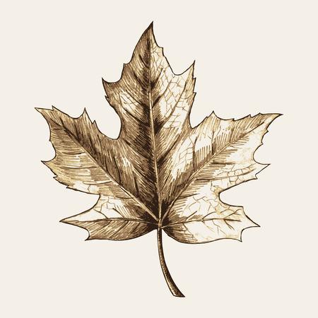 カエデの葉のスケッチ図  イラスト・ベクター素材