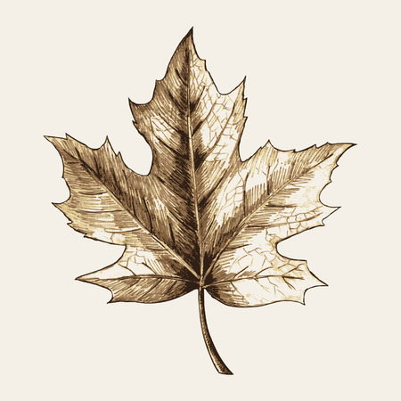 maple leaf icon: Sketch illustration of a maple leaf