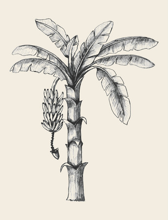 banana leaves: Sketch illustration of banana tree Illustration