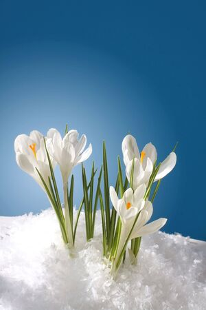 snow flowers: snowdrops