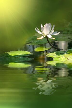 fiori di giglio di acqua