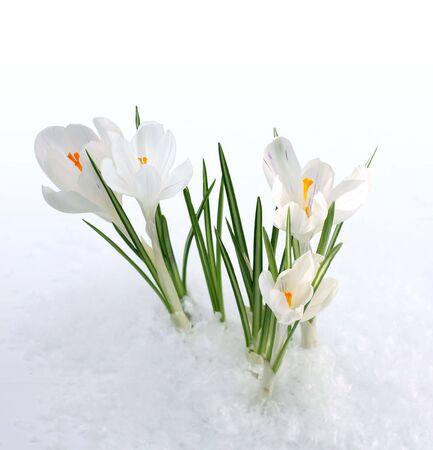 snowdrops photo