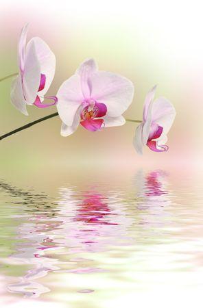orchidee: fiori di orchidea