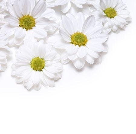 chamomiles background photo