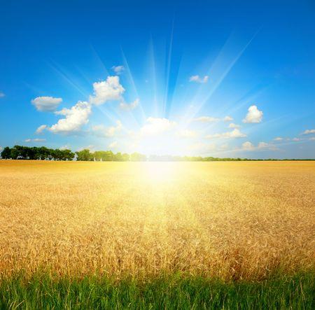 yellow wheat field under blue sky Stock Photo - 6902050