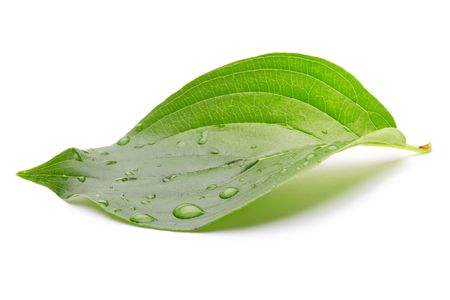 green leaf with water drops Stock Photo - 8169719