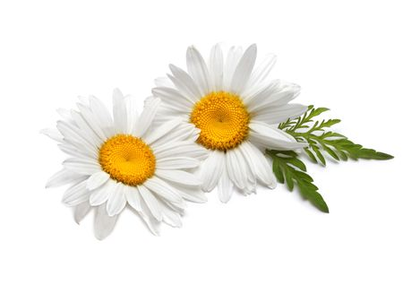camomile: chamomile flower
