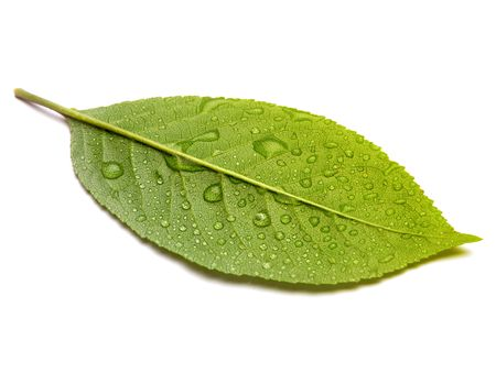 green leaf Stock Photo - 8169754