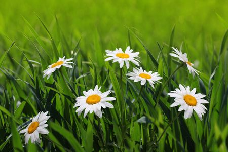 chamomile in meadow Stock Photo - 8169765