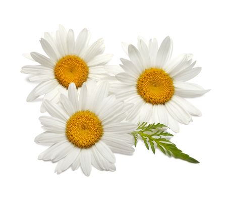 daisies: chamomile Stock Photo