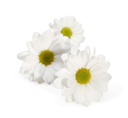 camomiles: chamomile flower isolated