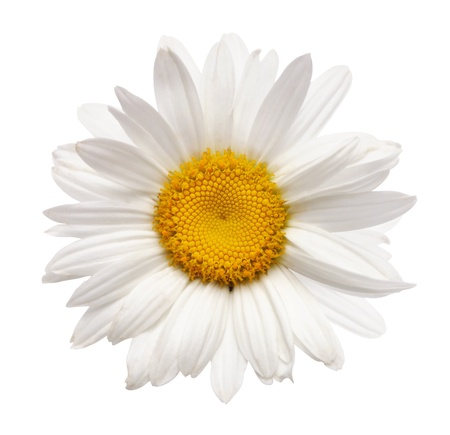 chamomile flower isolated with clipping path photo