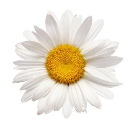 fiori di camomilla isolato con tracciato di ritaglio