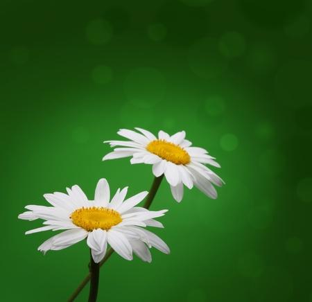 chamomile on green photo