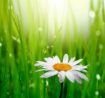 campo de margaritas: manzanilla en la hierba verde
