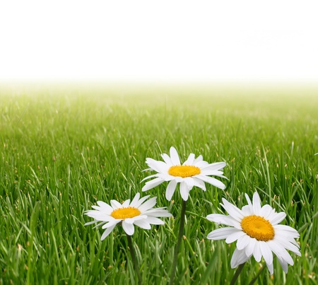 chamomile in green grass Stock Photo - 8699696