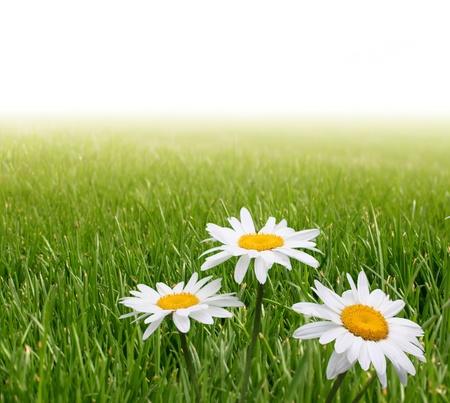 chamomile in green grass Stock Photo - 8699696