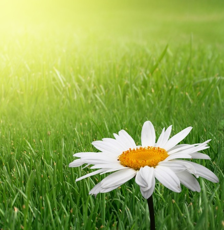 chamomile in green grass Stock Photo - 8699691