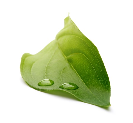 dews: green leaf with water drops