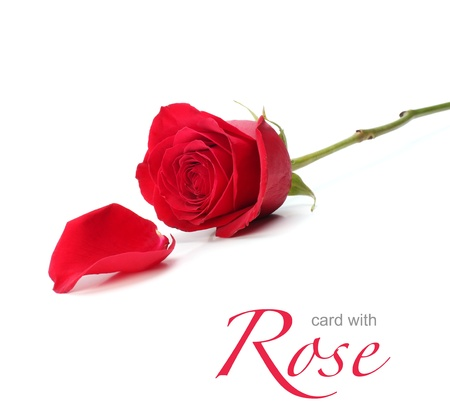red rose photo