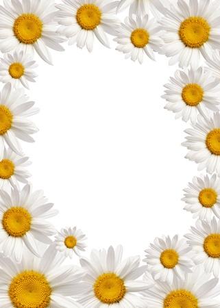chamomile background photo