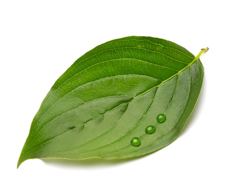 green leaf with drops photo