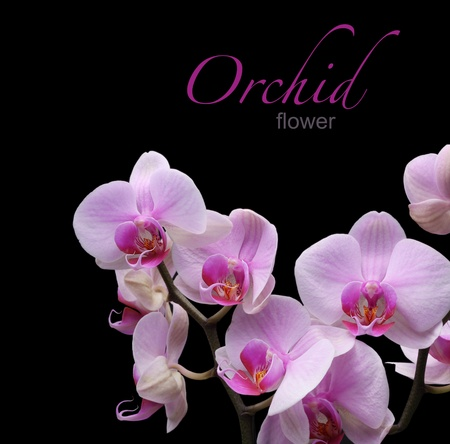 flowers black background: orchid flower  Stock Photo