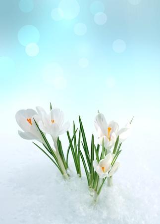 krokus: snowdrop