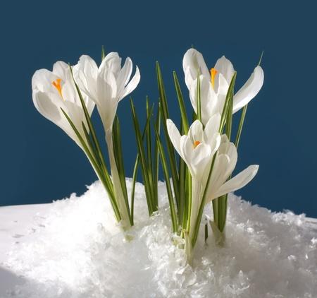 sneeuwklokje in de sneeuw Stockfoto