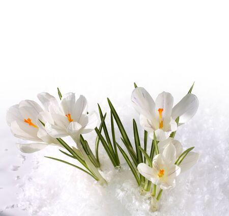 snowdrops in snow photo
