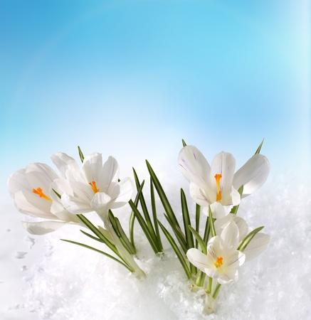 krokus: sneeuwklokjes Stockfoto
