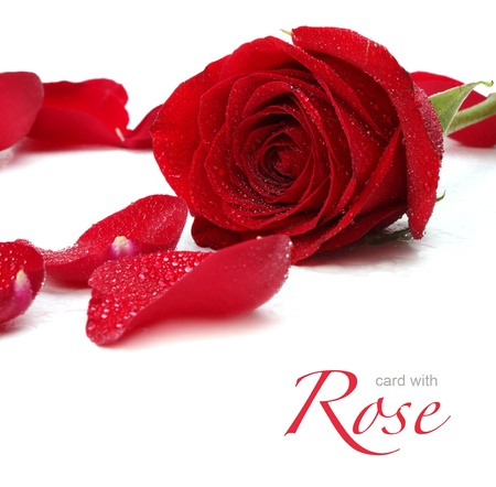 red rose and petals photo