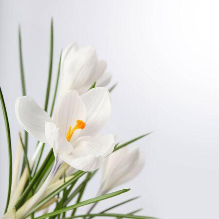 krokus: voorjaar bloem Stockfoto