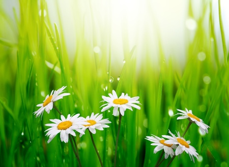 chamomile in green grass  Stock Photo - 9239717