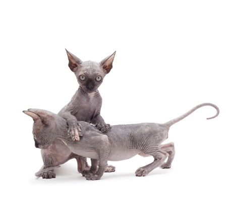 two sphinx kitten photo