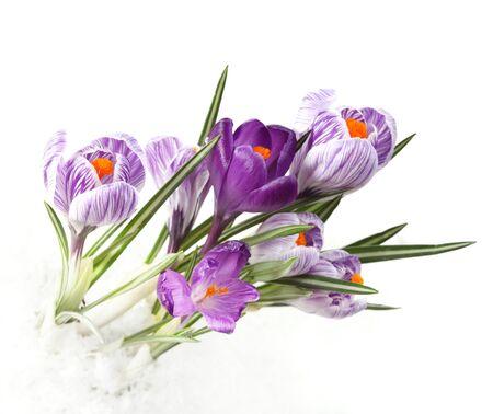 crocus flower photo