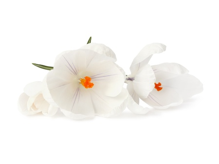 white crocus flower on white photo