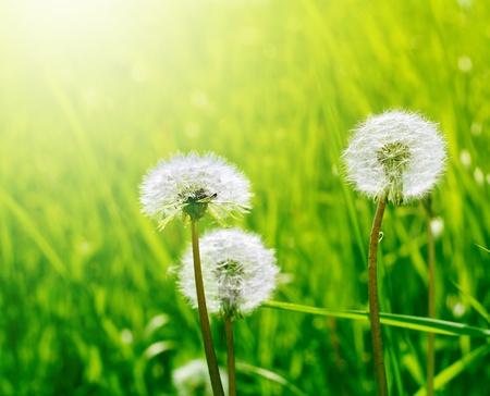dandelion field: dandelion in green grass Stock Photo