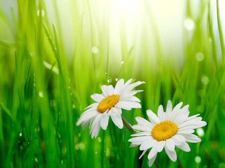 daisies: chamomile in green grass