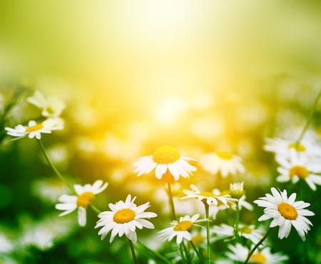 chamomile in green grass photo
