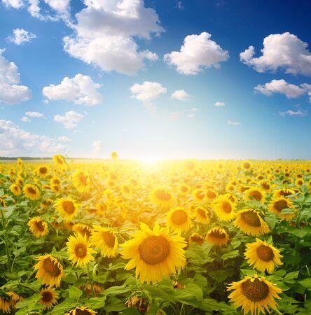 sunflower field: sunflower