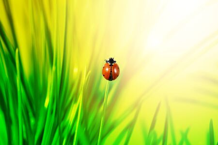 lady beetle: ladybug in grass