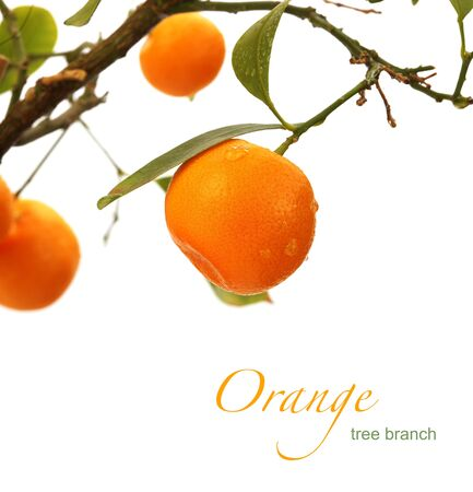tangerine tree: orange tree branch