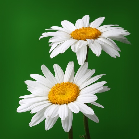 camomile flower on green photo
