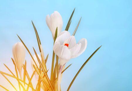 spring crocus flower photo