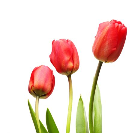 tulipa: tulips isolated on white Stock Photo